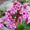Бадан: фото цветов