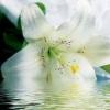 Белая лилия полезные свойства