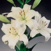 Белая лилия правильная посадка и уход: лучшие советы