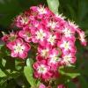 Цветы боярышника: полезные свойства