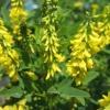 Донник: фото растения