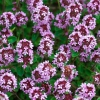 Как выглядит трава чабрец (фото) и где растет