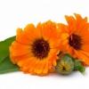 Календула: фото цветов