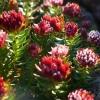 Красная щетка: лечебные свойства и противопоказания
