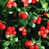 Листья брусники лечебные свойства и противопоказания