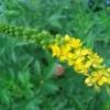 Репешок обыкновенный: свойства растения и противопоказания