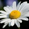 Ромашка полезные свойства и противопоказания