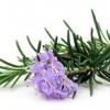Розмарин: полезные свойства растения и противопоказания