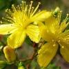 Зверобой: фото растения
