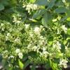 Софора японская: полезные свойства растения и противопоказания
